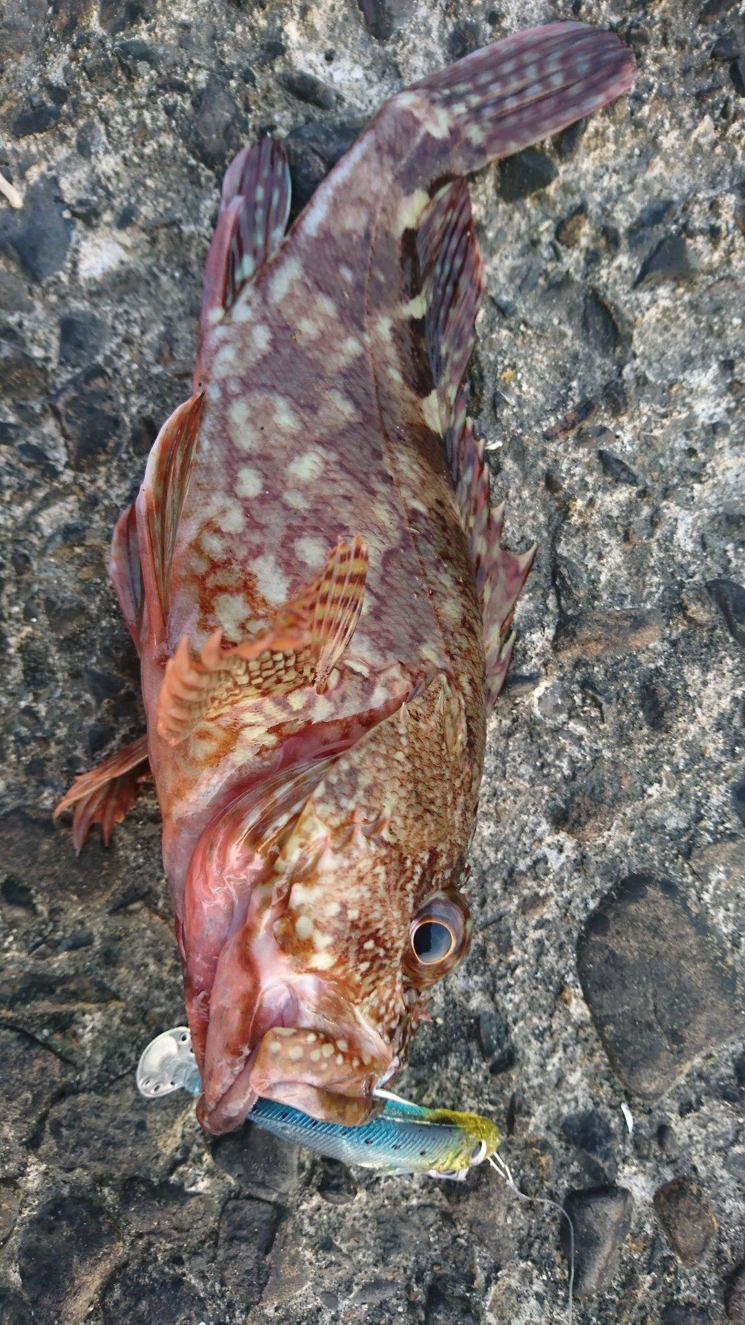 エイ職人さんの投稿画像,写っている魚はカサゴ
