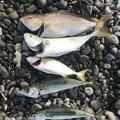 OKMAXさんの静岡県沼津市でのマサバの釣果写真