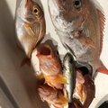 ぴーちく P竹さんの静岡県御前崎市でのカサゴの釣果写真