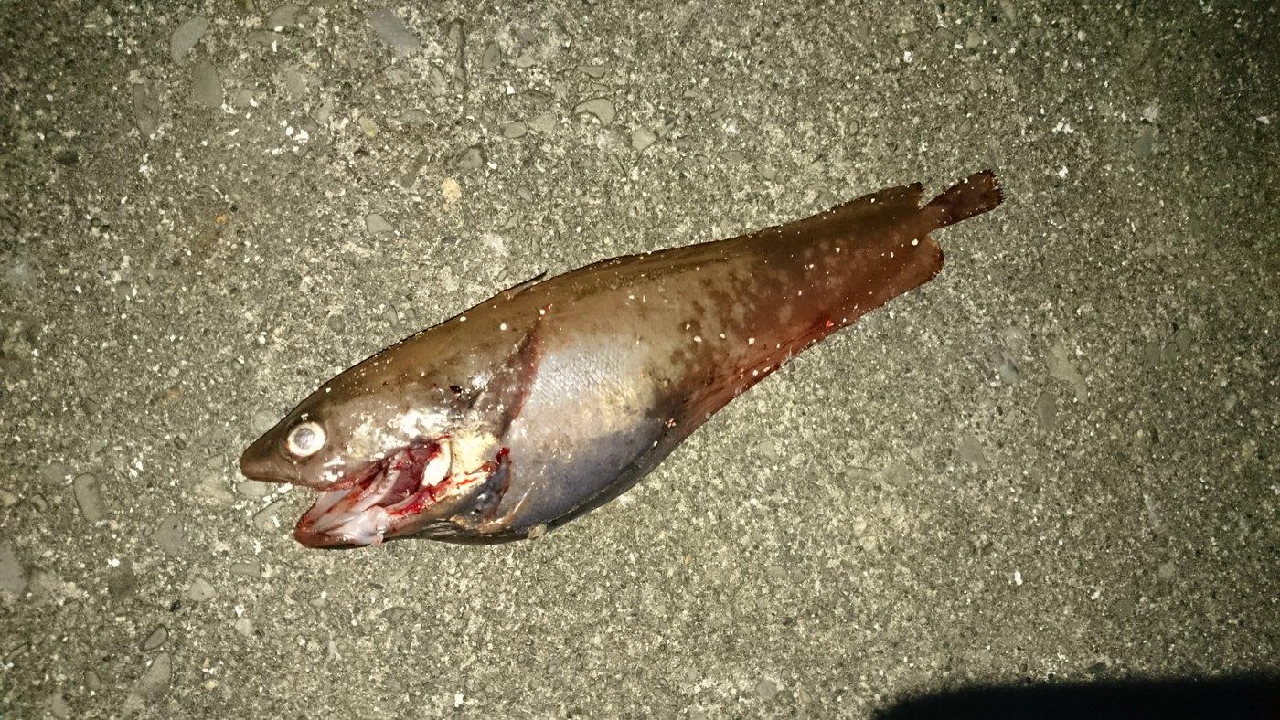 ちゅーだいさんの投稿画像,写っている魚はエゾイソアイナメ