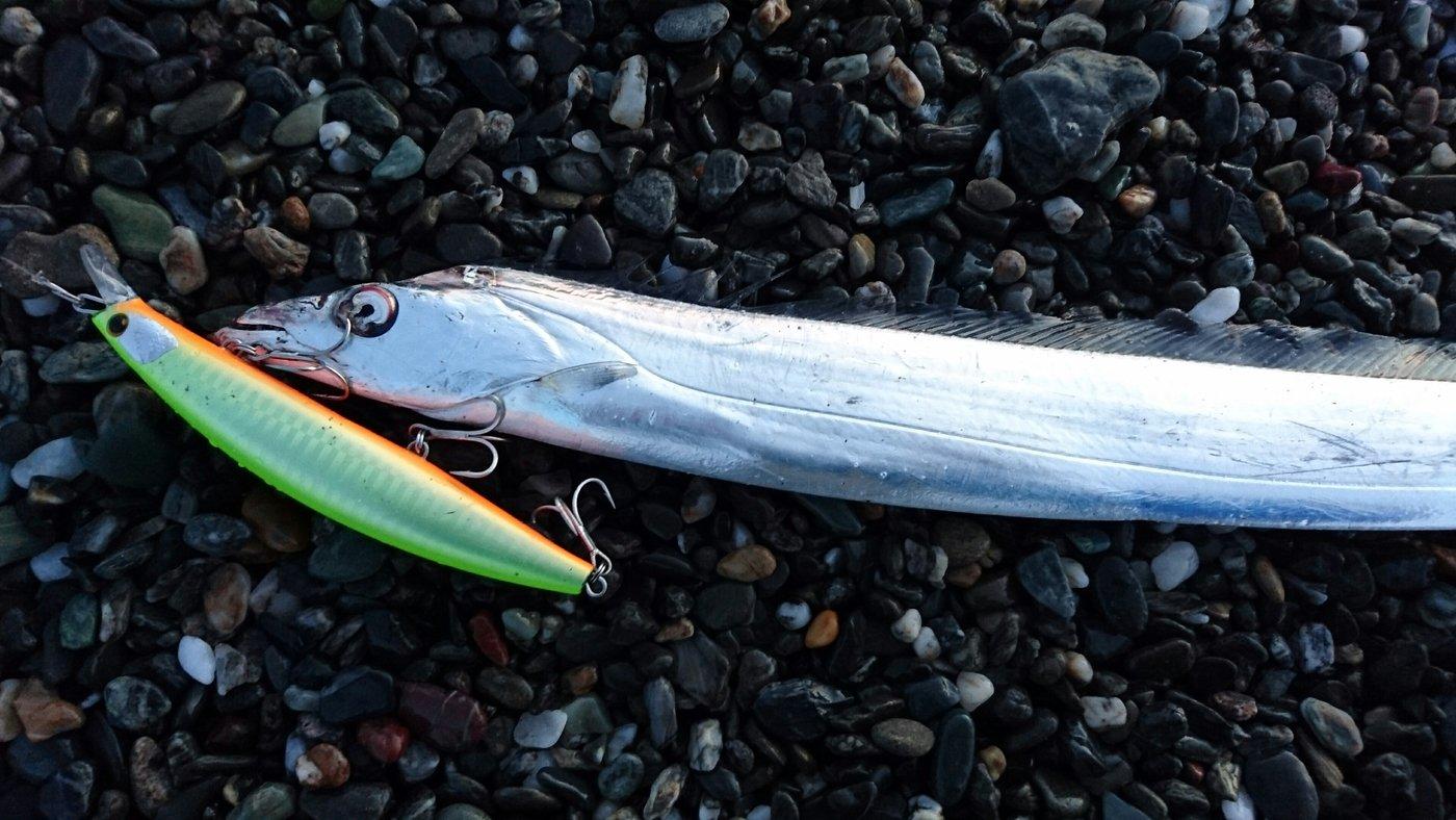ぶっちゃんさんの投稿画像,写っている魚はタチウオ
