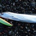 ぶっちゃんさんの高知県でのタチウオの釣果写真