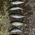 KCさんの神奈川県でのアジの釣果写真