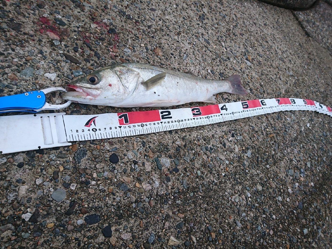MWAMさんの投稿画像,写っている魚はスズキ