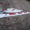MWAMさんの石川県かほく市でのスズキの釣果写真