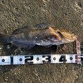 こちまこさんのアイナメの釣果写真