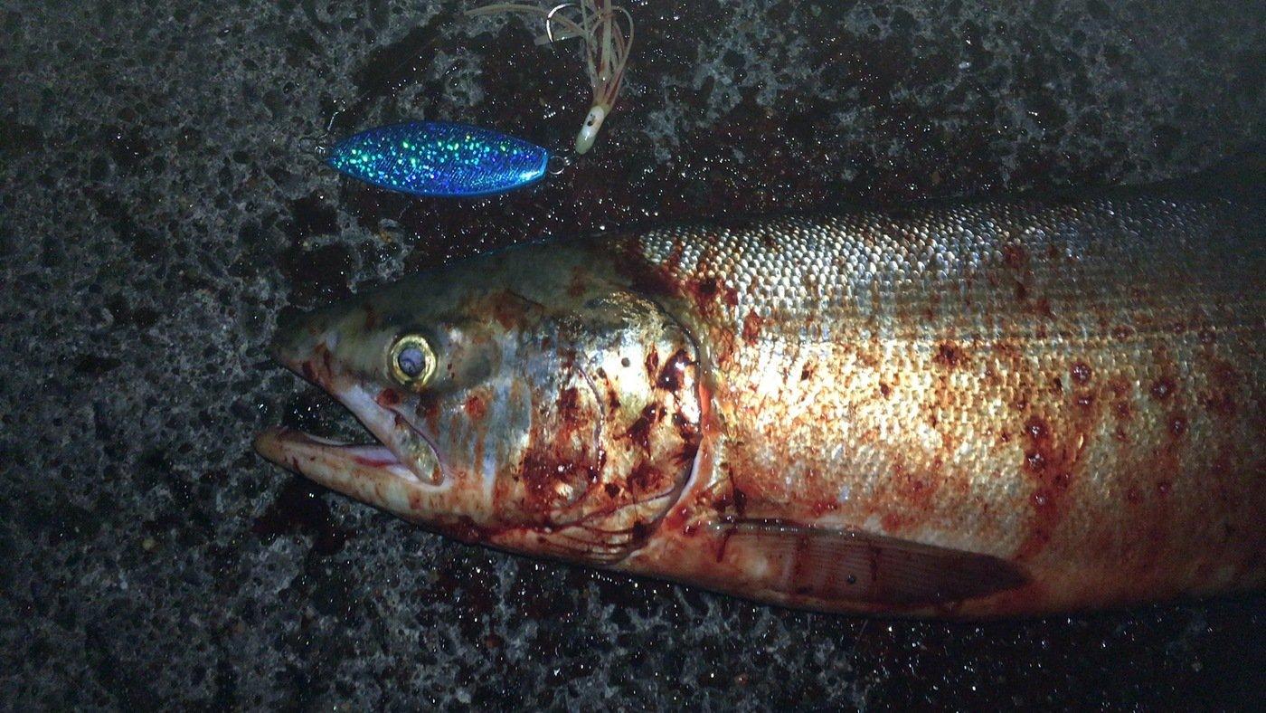 あべし。さんの投稿画像,写っている魚はサケ