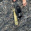 わたるさんの静岡県でのシイラの釣果写真