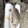 おみさんの神奈川県での釣果写真