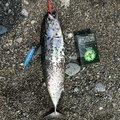 佑典石井さんの神奈川県でのマルソウダの釣果写真