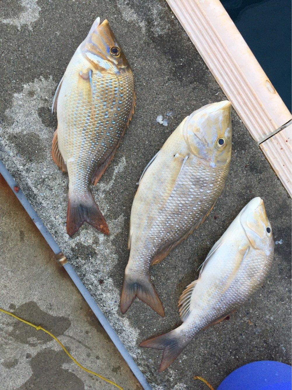 ルアー戦士ロストマンさんの投稿画像,写っている魚はハマフエフキダイ
