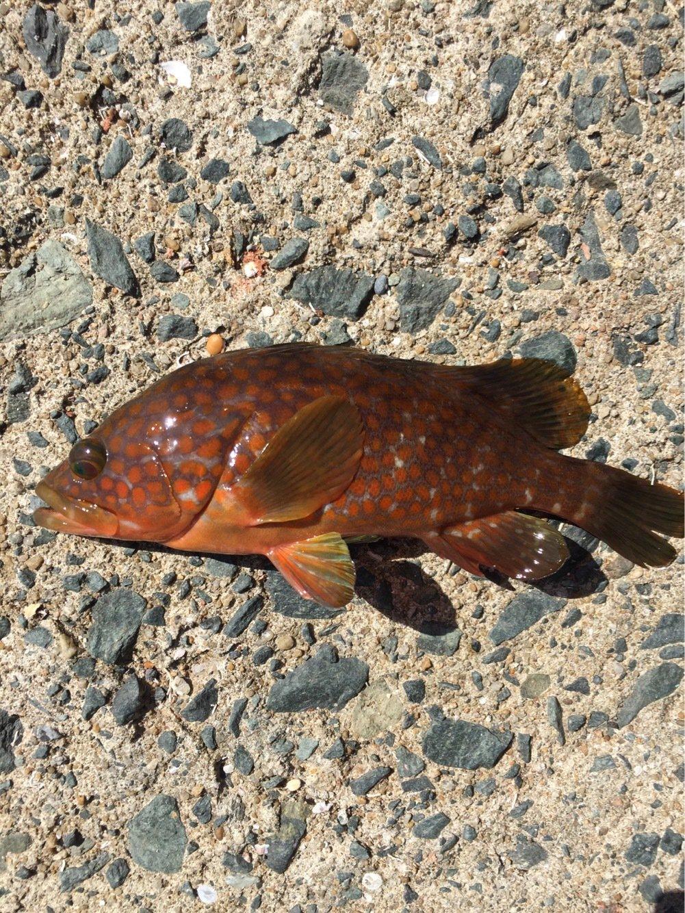 のでぃさんの投稿画像,写っている魚はキジハタ