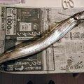 ヒゲダルマさんの宮崎県での釣果写真