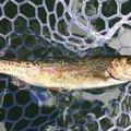 GENICRAさんのニジマスの釣果写真