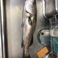 ママチャリさんの福岡県糸島市でのスズキの釣果写真
