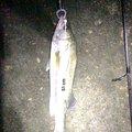 りょうすけさんの石川県かほく市でのスズキの釣果写真