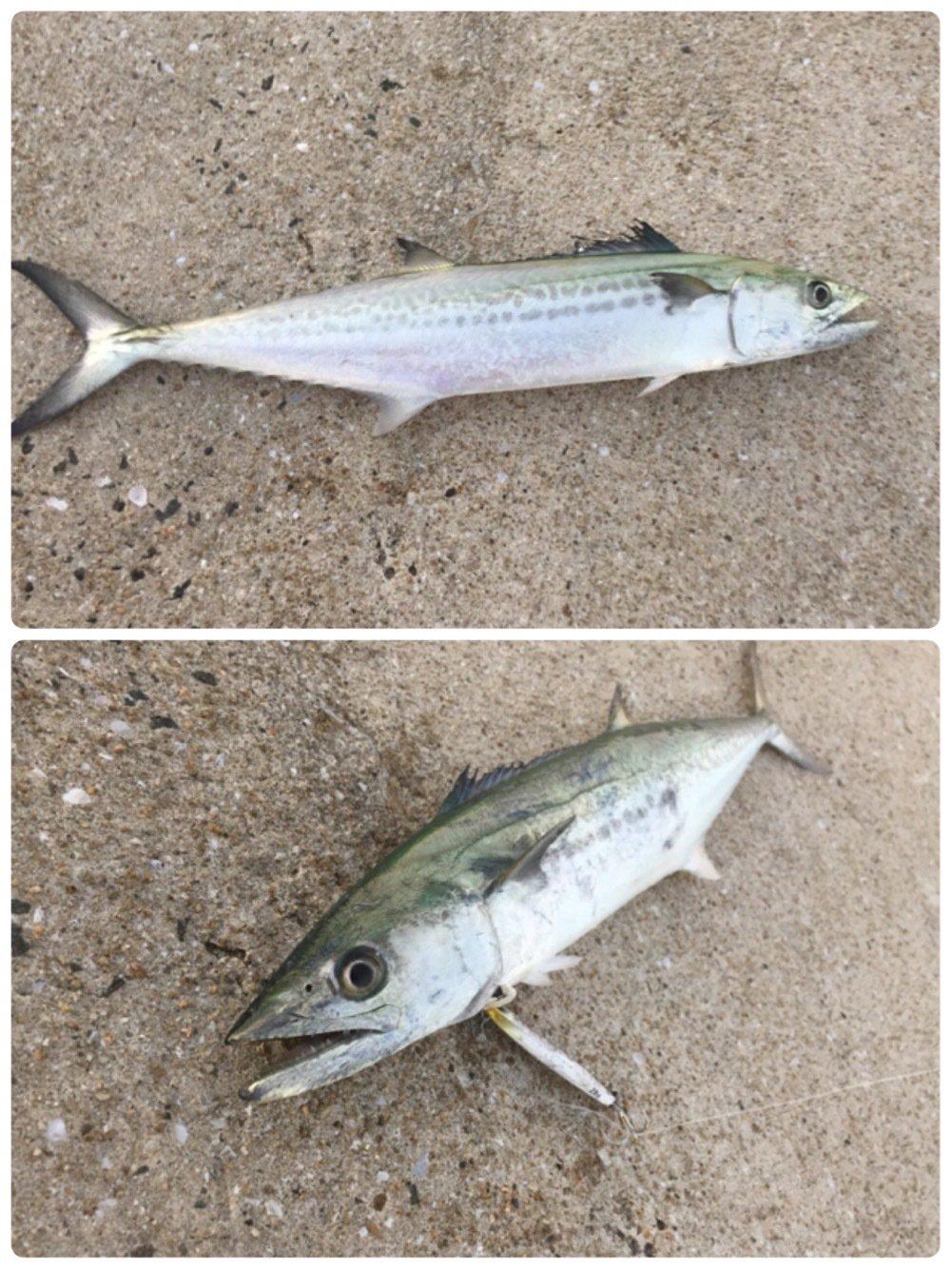 jive850さんの投稿画像,写っている魚はサワラ