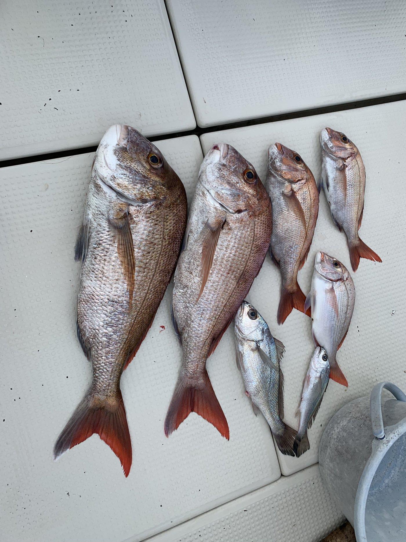 とろい丸さんの投稿画像,写っている魚はマダイ