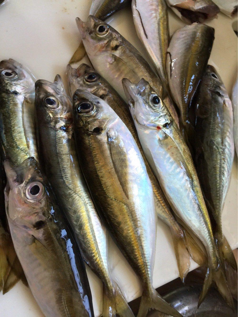 BENさんの投稿画像,写っている魚はアジ