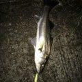 ペトリさんの千葉県での釣果写真