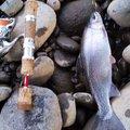やっくんさんの北海道札幌市での釣果写真