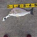 南の黒鯛師さんのヘダイの釣果写真