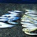 さかなくんさんの静岡県沼津市でのマサバの釣果写真