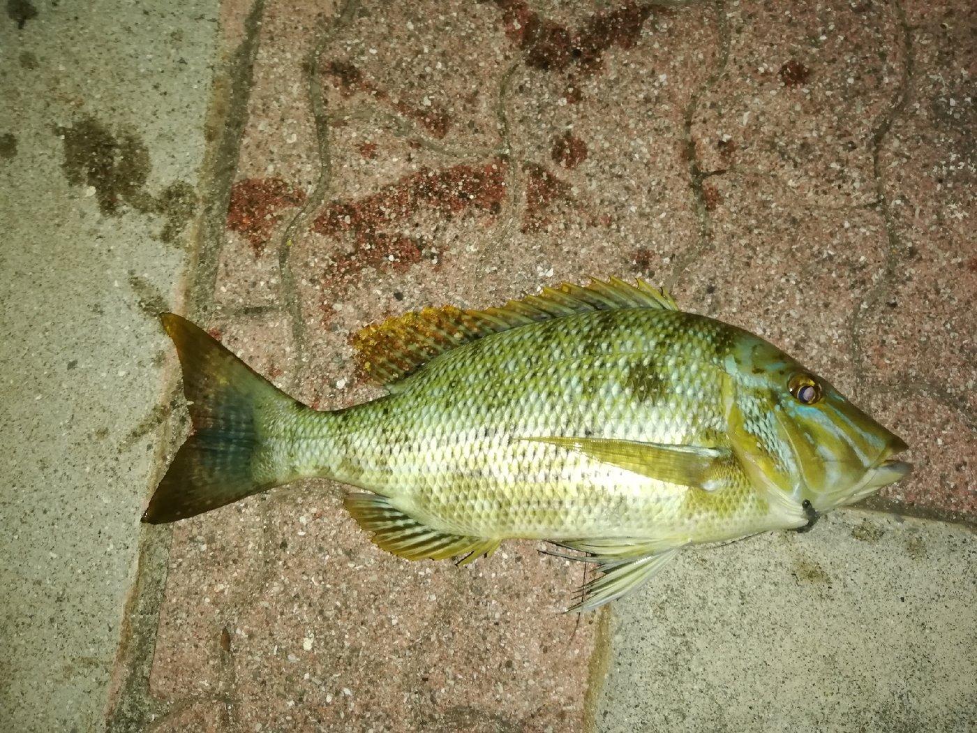 いっせい@働きたくないさんの投稿画像,写っている魚はハマフエフキダイ
