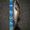 ツリッチさんの千葉県での釣果写真