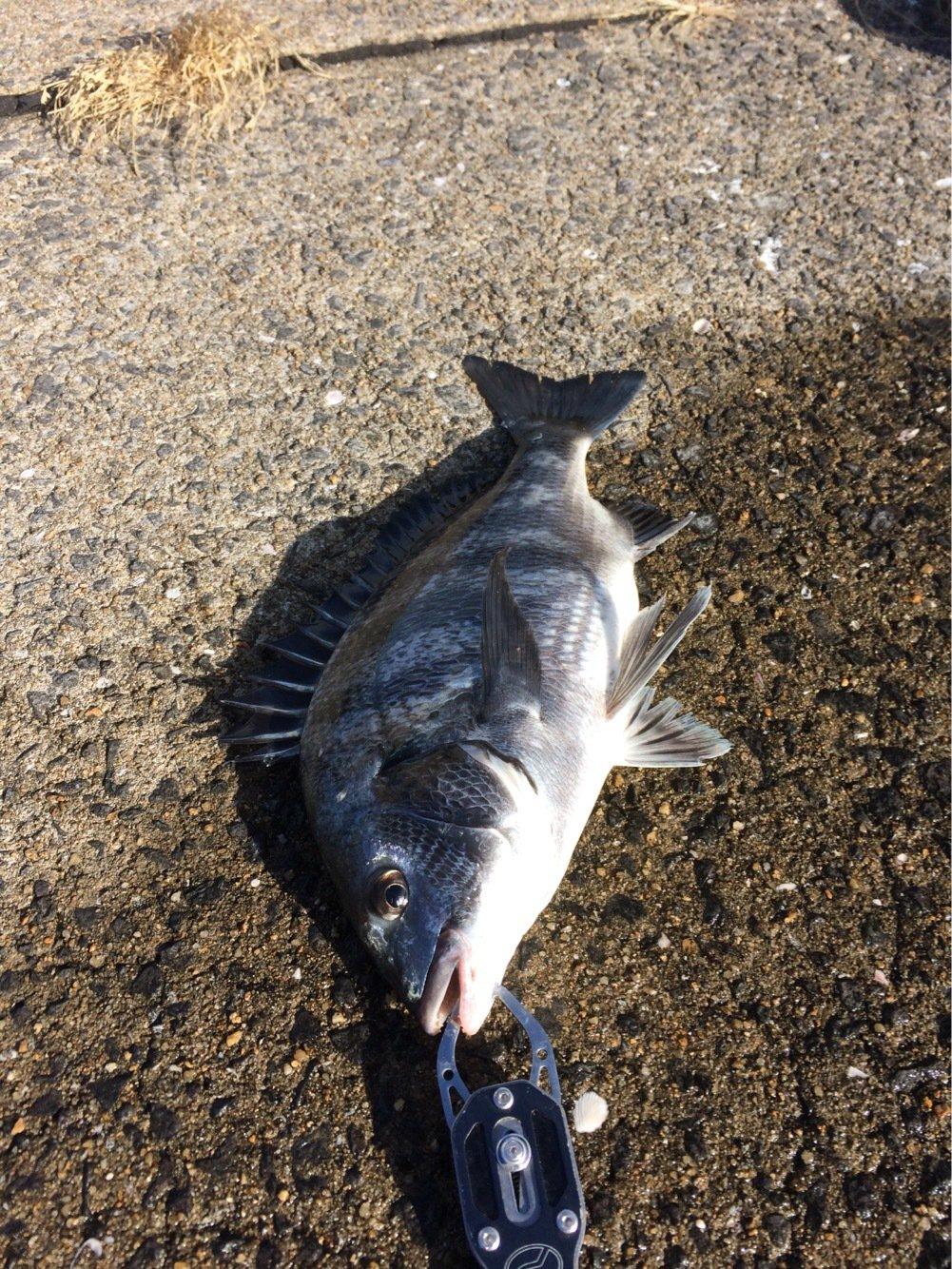 MOKOさんの投稿画像,写っている魚はクロダイ