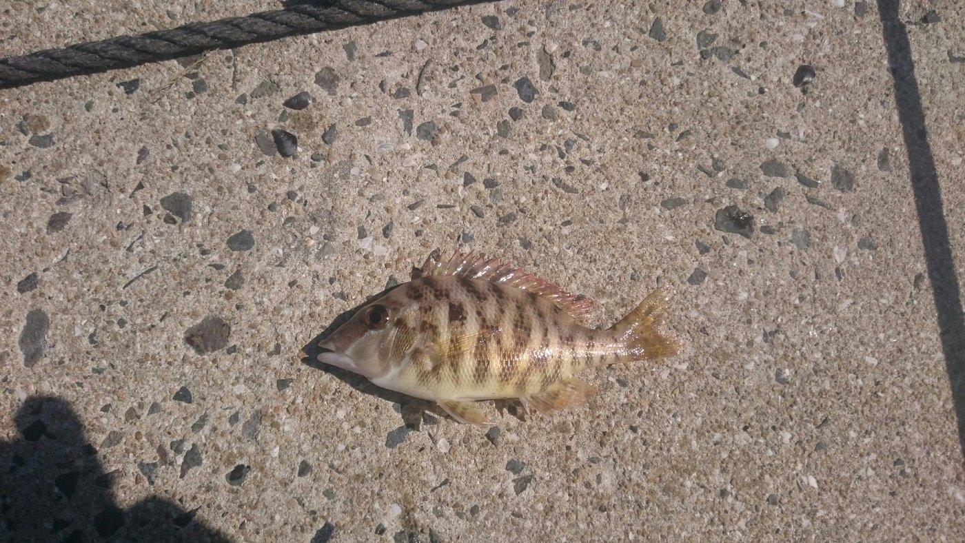 TYさんの投稿画像,写っている魚はフエフキダイ