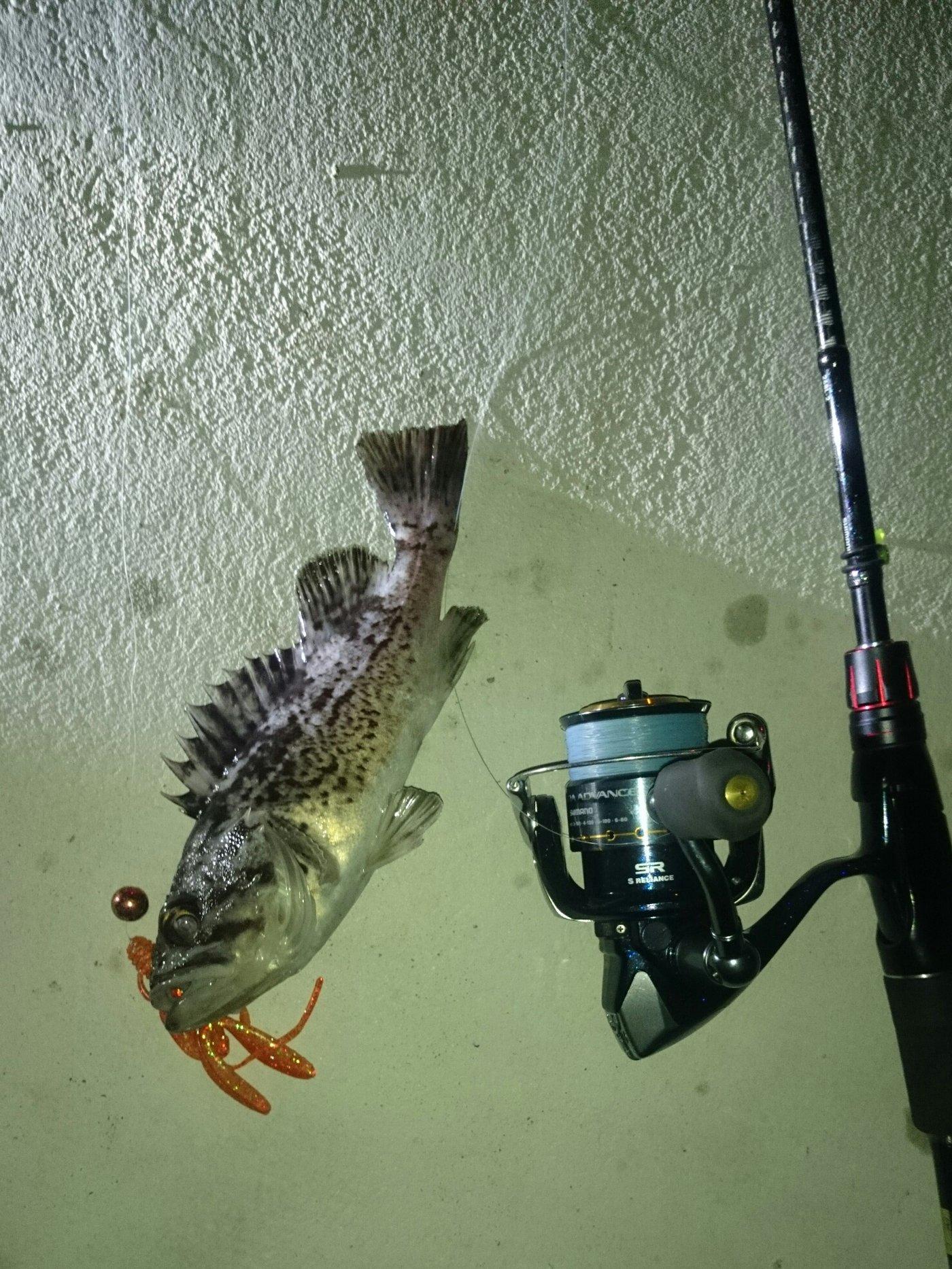9時ッコさんの投稿画像,写っている魚はクロソイ