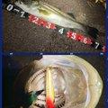 ポニーさんの千葉県船橋市でのスズキの釣果写真