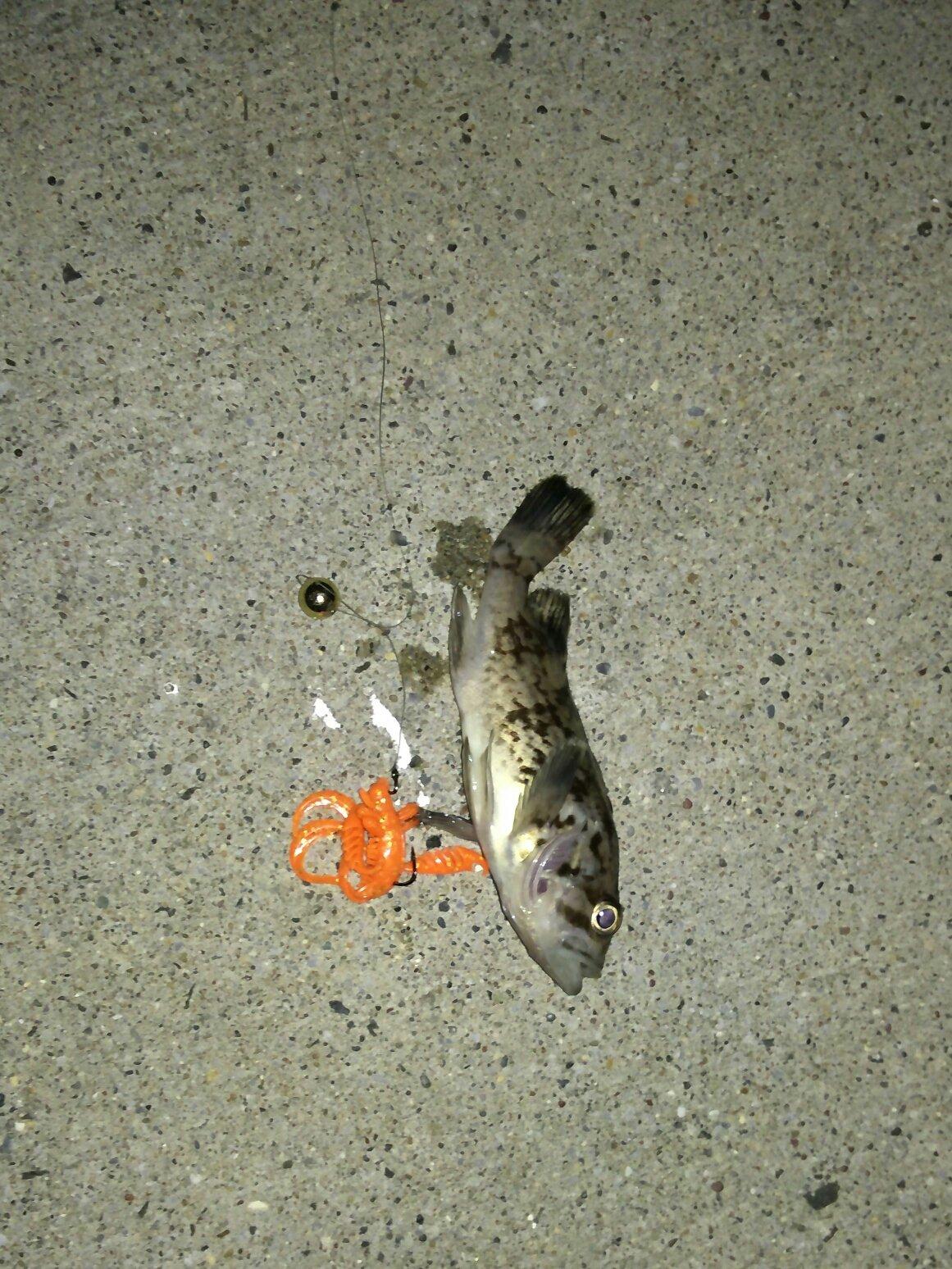 キャンディーさんの投稿画像,写っている魚はソイ