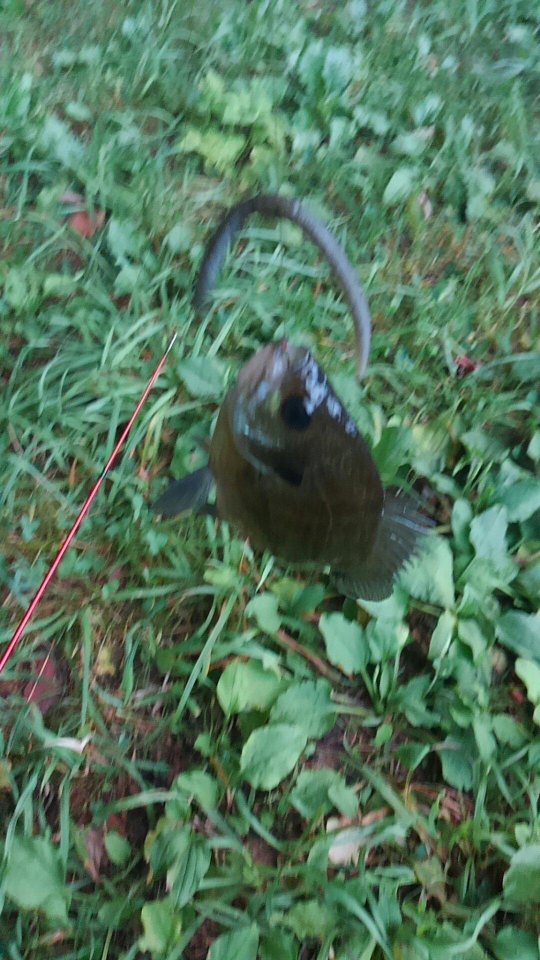 とうゴ VspecⅡさんの投稿画像,写っている魚はブルーギル,