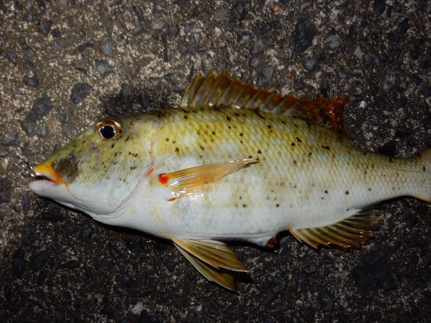 仁科哲洋さんの投稿画像,写っている魚はフエフキダイ