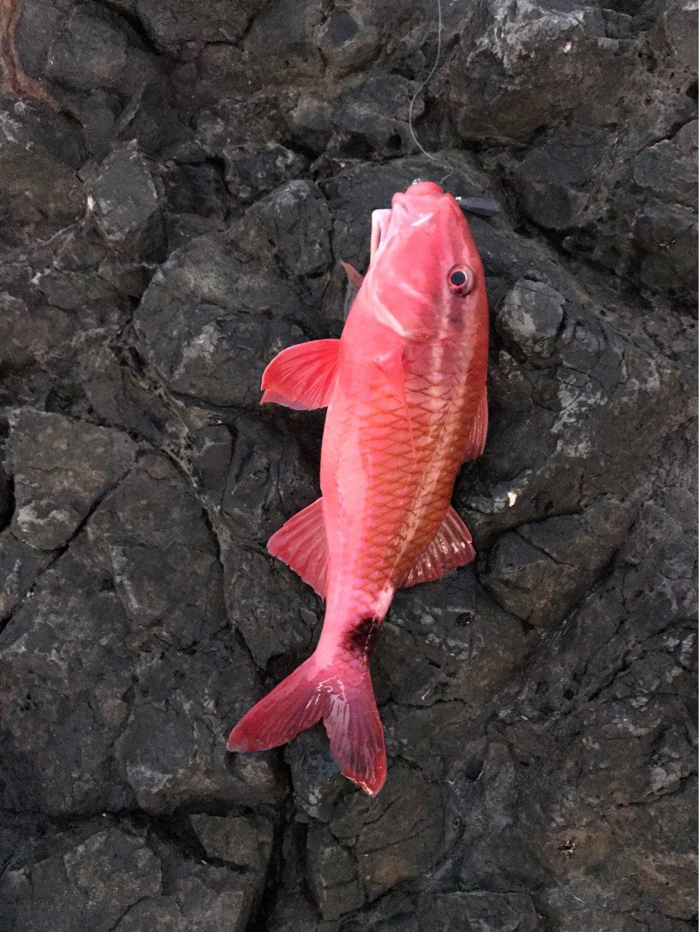 平野 健太さんの投稿画像,写っている魚はオジサン
