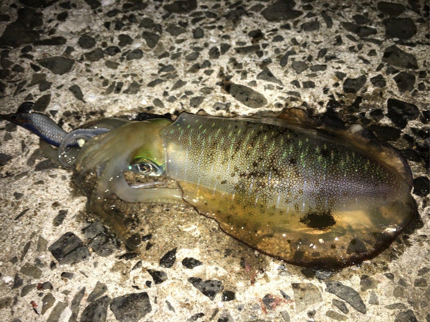 モリモリさんの投稿画像,写っている魚はアオリイカ