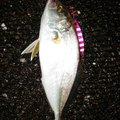 たーまさんの高知県須崎市での釣果写真