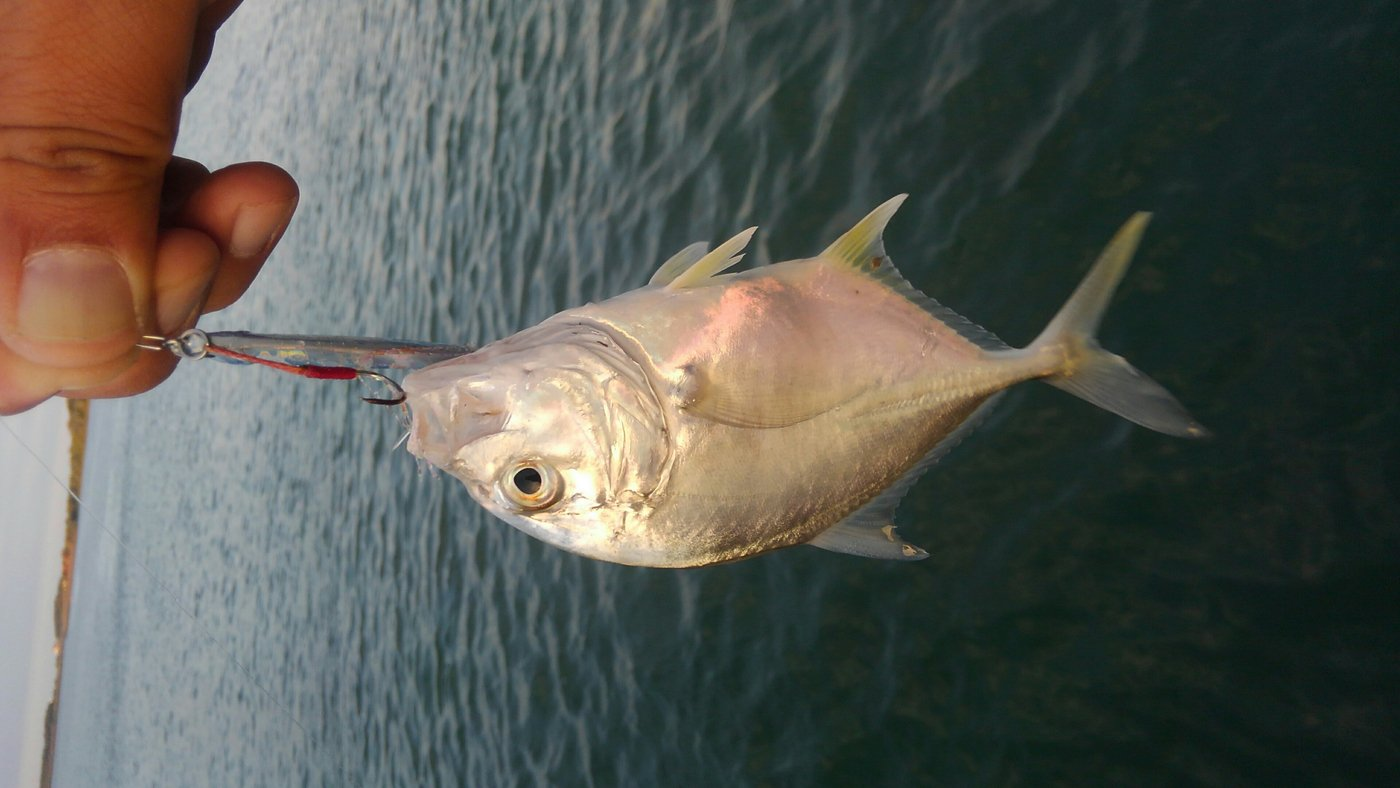 mrfjさんの投稿画像,写っている魚はロウニンアジ