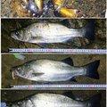 ジーン さんの千葉県安房郡でのヒラスズキの釣果写真