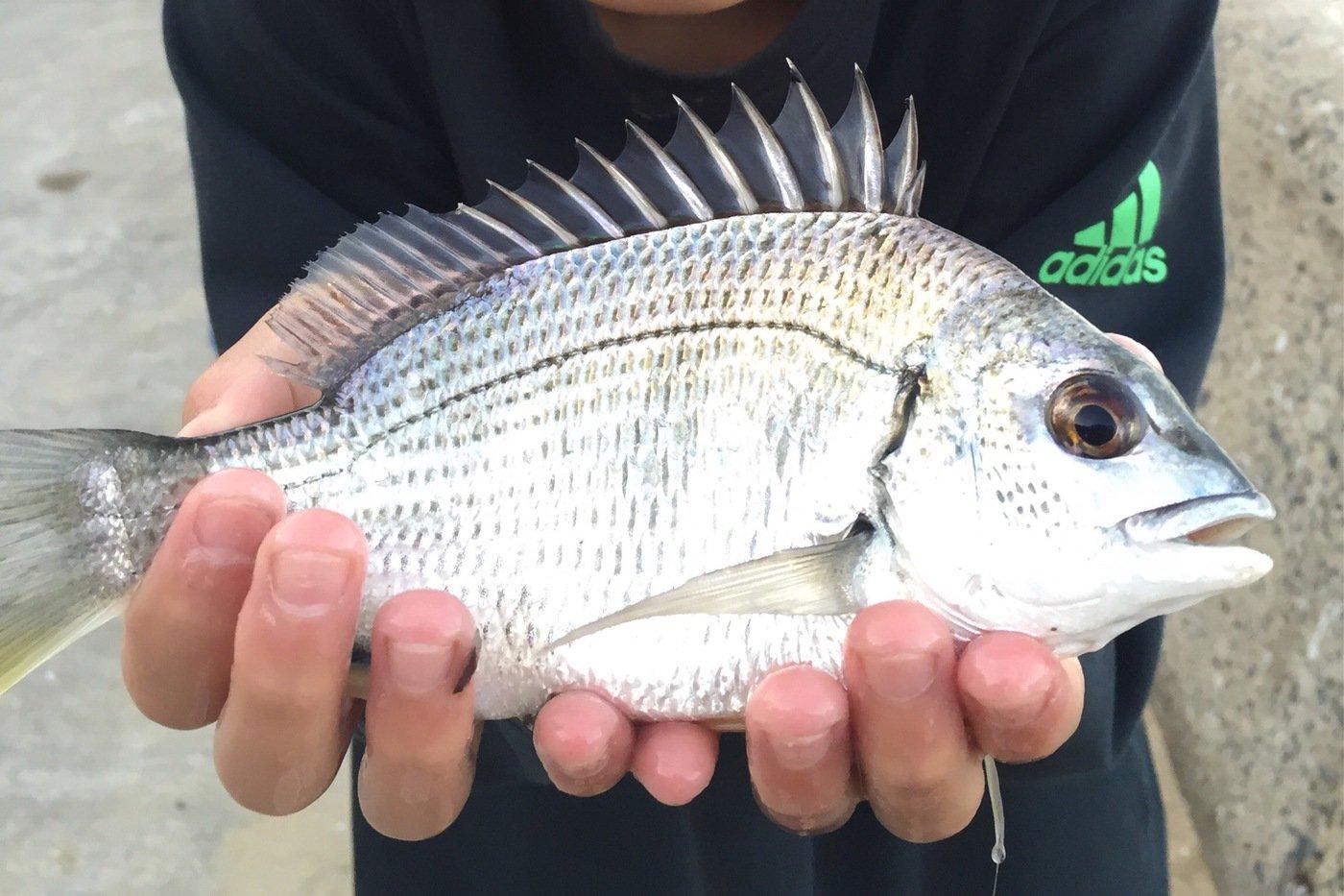 さっとんさんの投稿画像,写っている魚はキチヌ