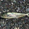 釣り好きさんの神奈川県でのシイラの釣果写真