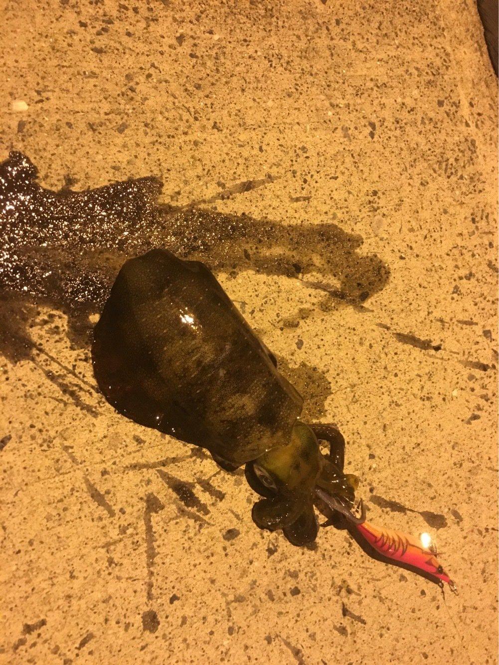 masaさんの投稿画像,写っている魚はアオリイカ