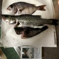 YDKさんの兵庫県洲本市での釣果写真