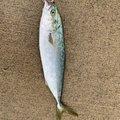 チビルさんの山形県飽海郡での釣果写真