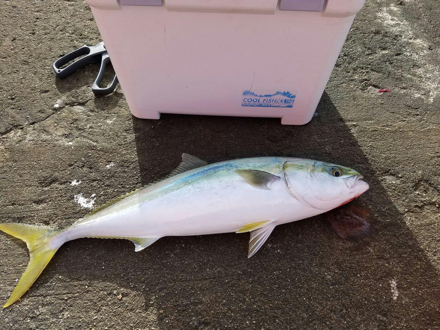 釣りキチケンケンさんの投稿画像,写っている魚はブリ