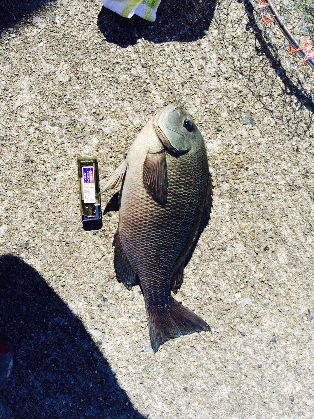 りこぴんさんの投稿画像,写っている魚はメジナ