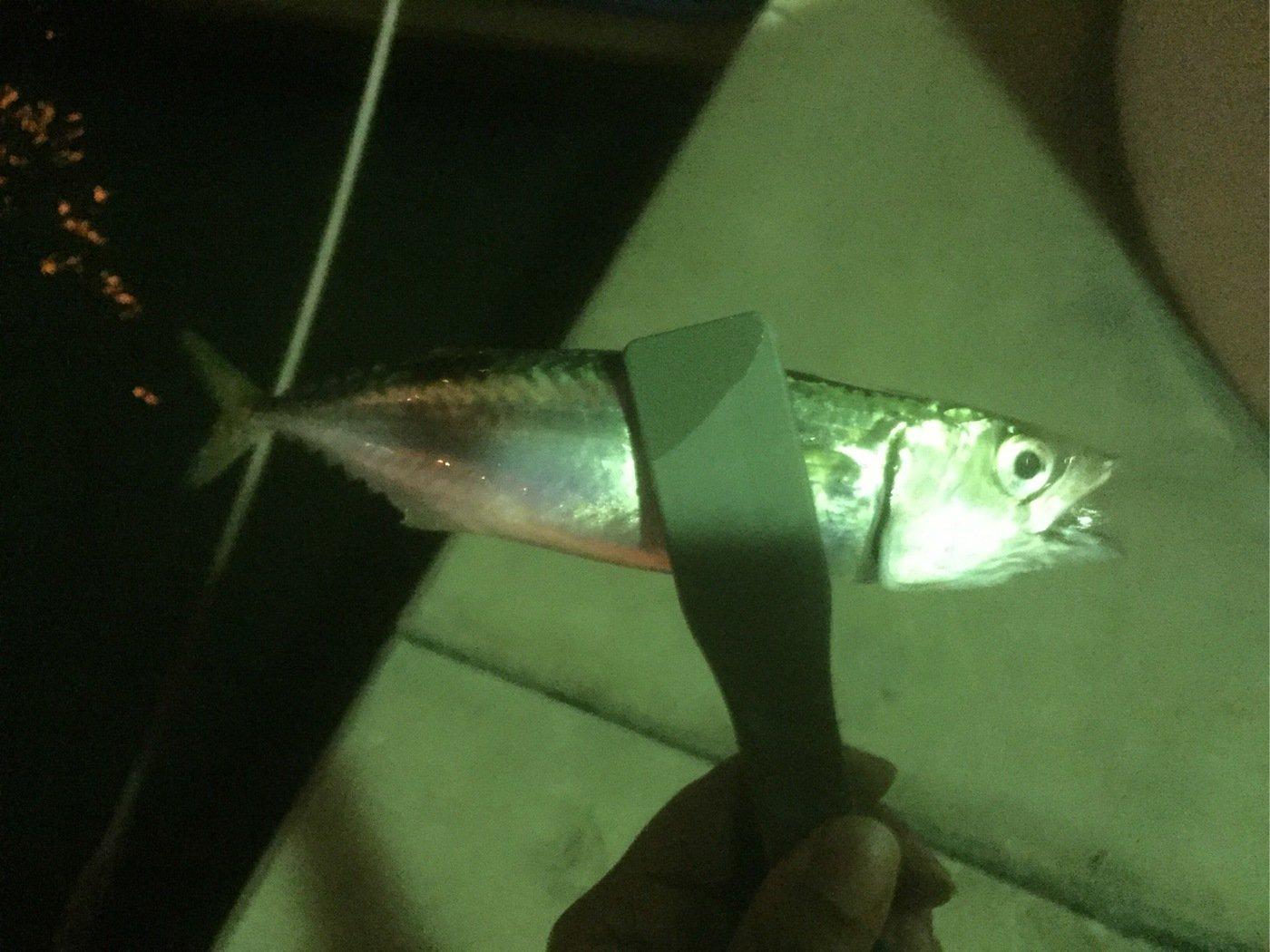 なにいろさんの投稿画像,写っている魚はマサバ