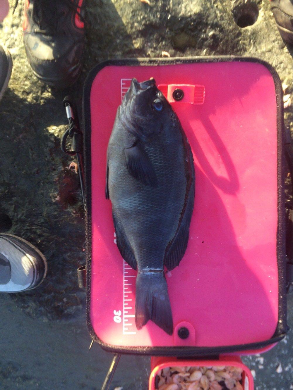 頭にルアーさんの投稿画像,写っている魚はクロメジナ